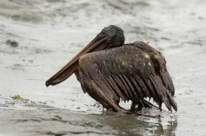 A Brown Pelican, covered in oil, sits on the beach at East Grand Terre Island along the Louisiana coast, Thursday, June 3, 2010. (AP Photo/Charlie Riedel)